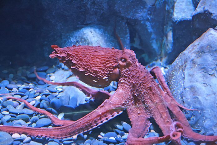 Scientist Develop New Octopus Military Camouflage